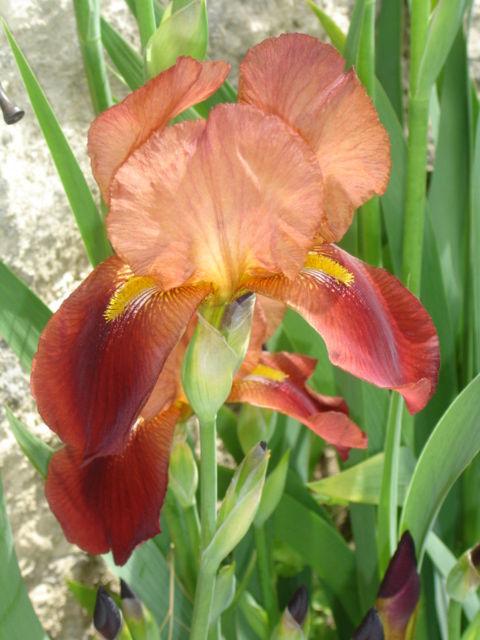 iris de mon jardin