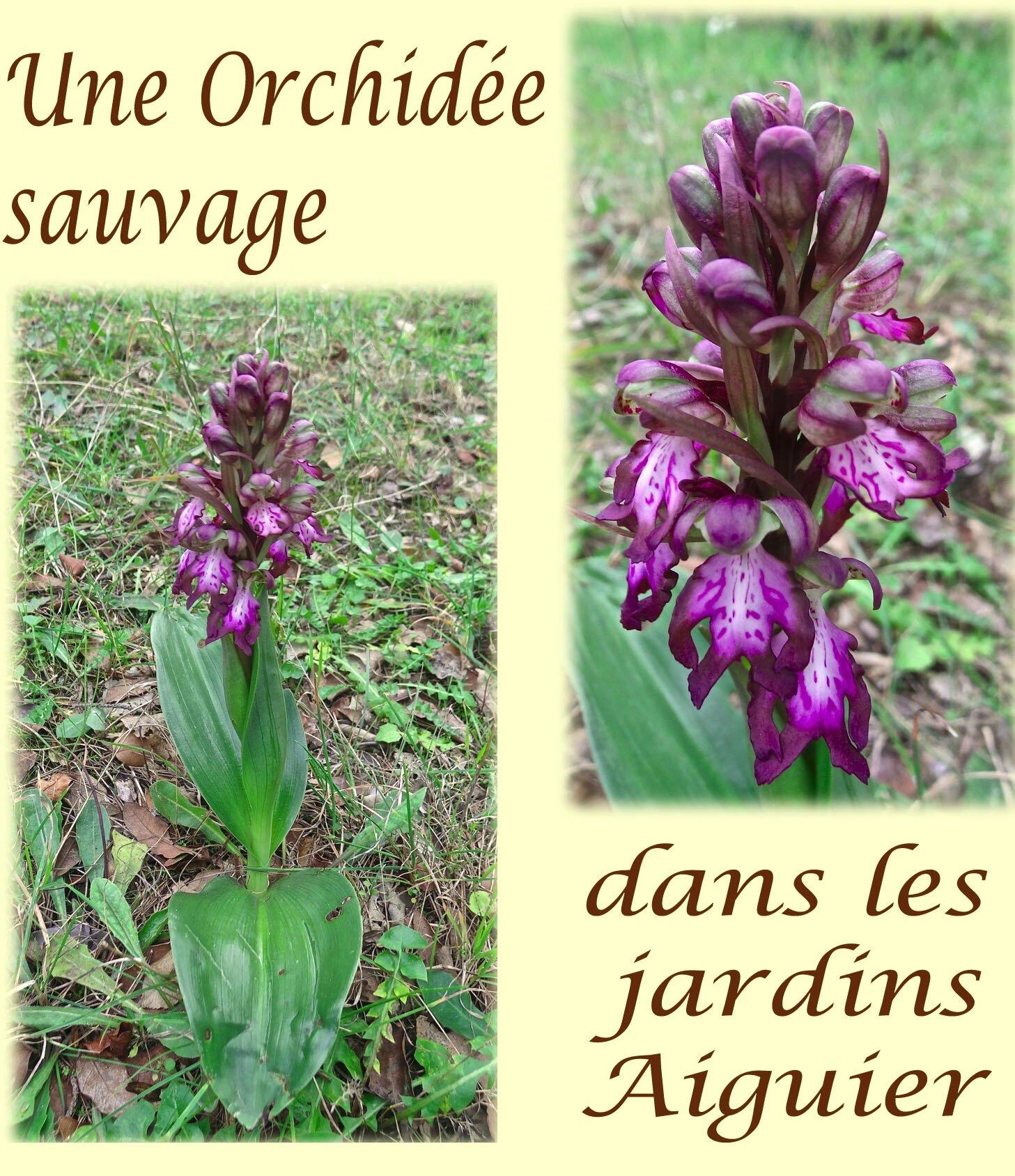 orchidee sauvage des jardins