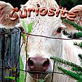 CR-189 - Curieuse- vache blanche