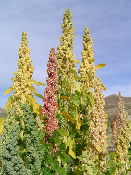 Une plante vieille de 5000 ans le quinoa vous connaissez for Plante quinoa