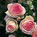 3229-rosier-pierre-de-ronsard-meiviolin-grandes-fleurs