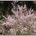 Prunus 140315