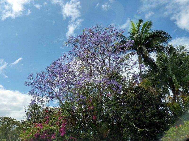 Jacarandas 3 Mares