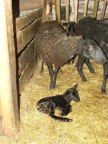 2008 04 21 L'agneau qui viens de naitre