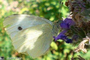 Pieris_brassicae