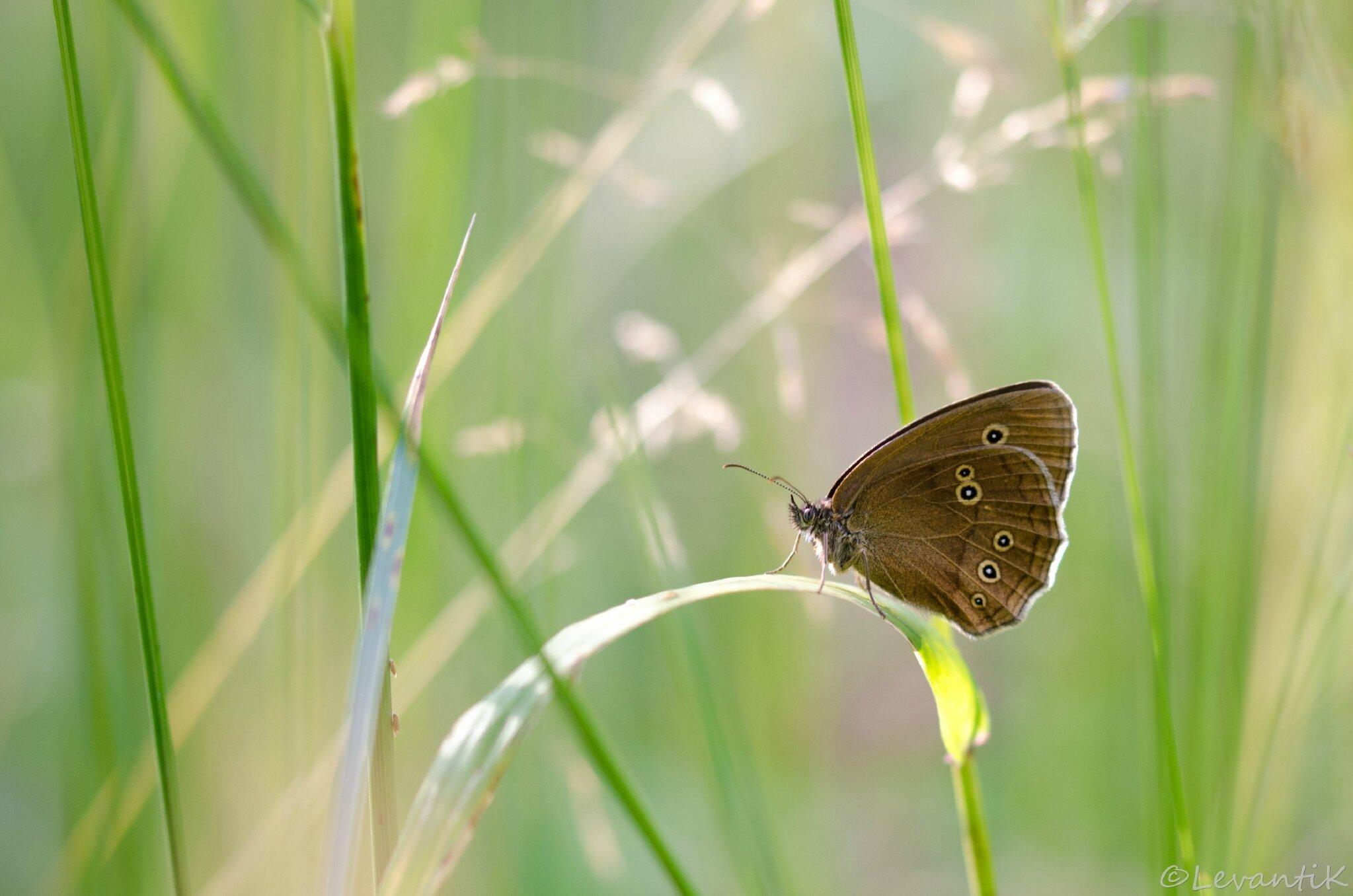 Tristan - Aphantopus hyperantus (3)