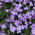 2009 04 17 Fleurs d'Aubriètes