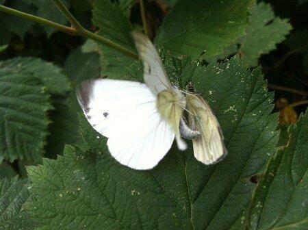 mme papillon assaut 0