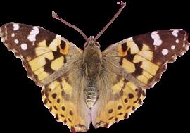 pfl_papillon_brun_p