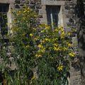 2009 08 31 Rudbeckia Herbstsonne