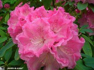 4803_Rhodo_rose