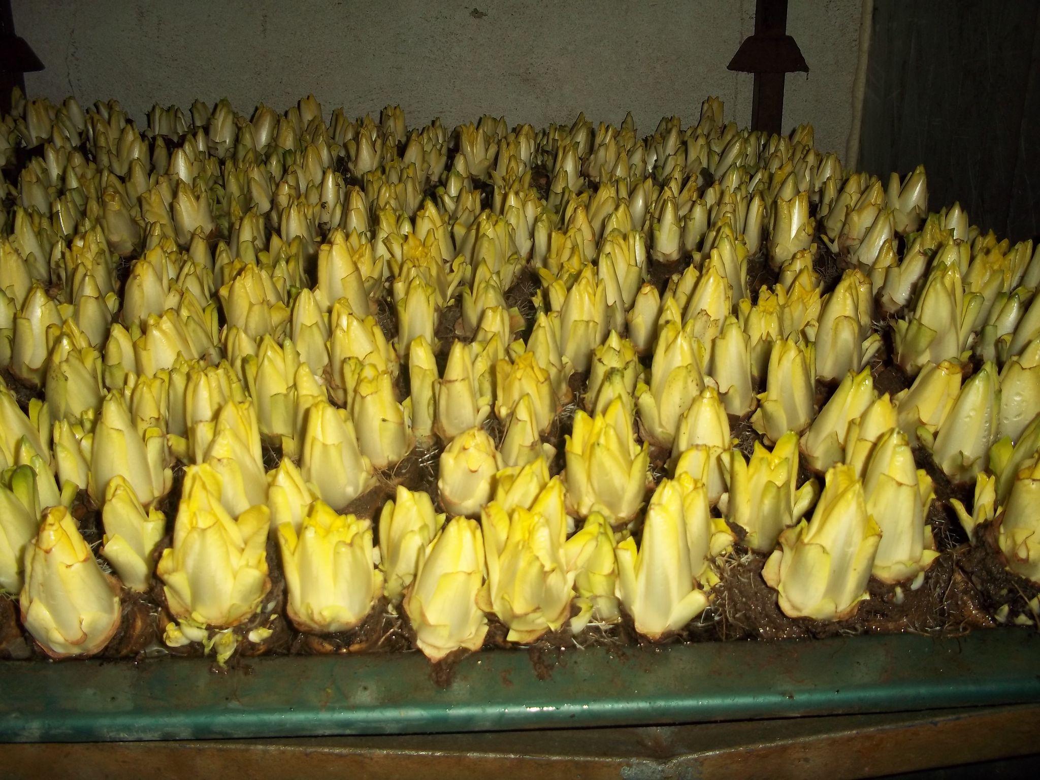 Endive au hareng a la ferme de champagne - Culture des endives au jardin ...