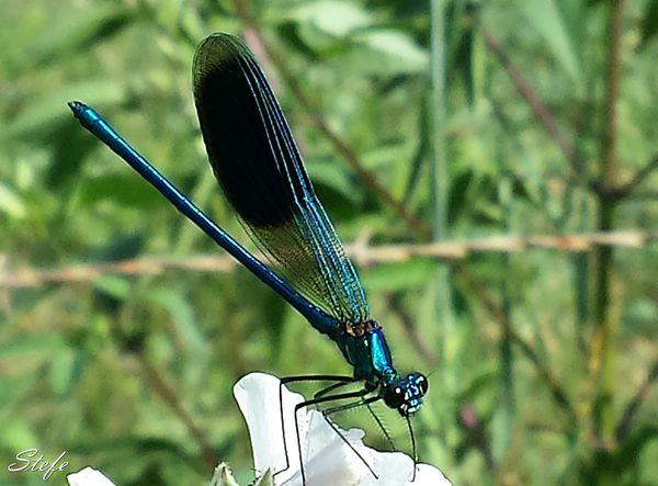 libellelule (5)