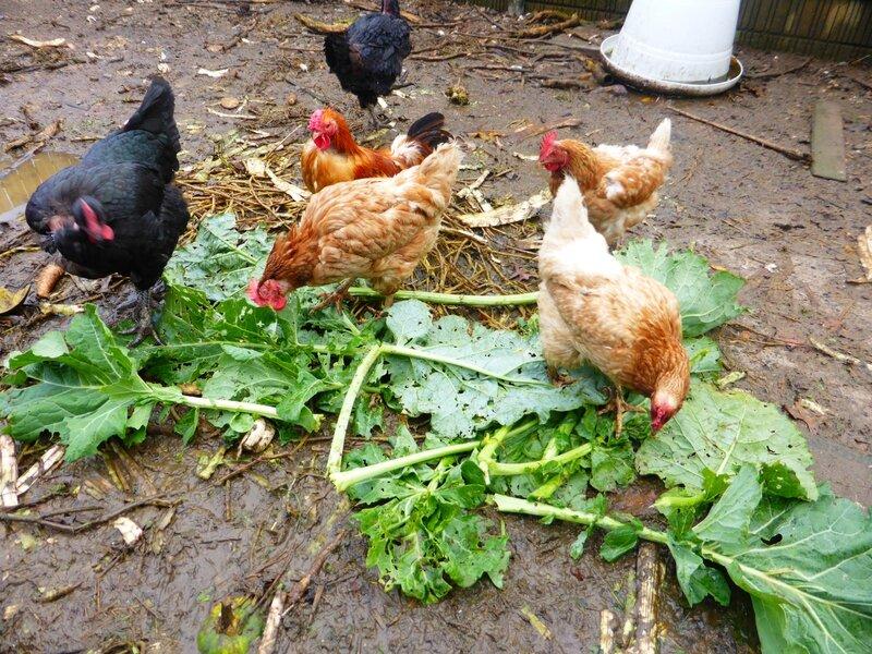 16-poules et choux (1)
