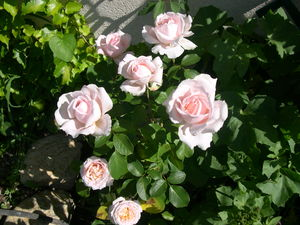 Roses_Andr__Le_N_tre