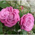 ...rose à coeur double