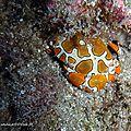 Crabe arlequin (lissocarcinus orbicularis)