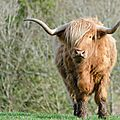 Red Highland Cattle (1)