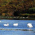 Lac Cygnes 26101510