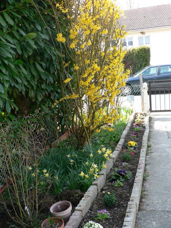 Forsythia mon jardin - Quand tailler un forsythia ...