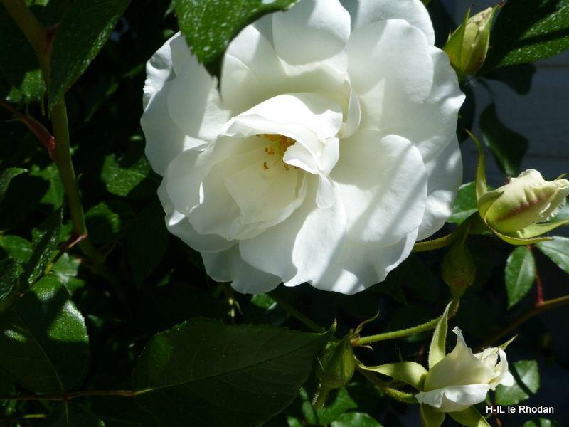 21-Fleurs 2013-06-06 (21)