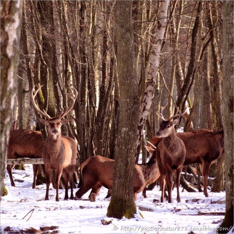 Cerfs dans la neige (12)