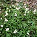 2008 04 20 Des fleurs d'anemone sylvie