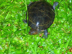 tortue_du_jardin_001
