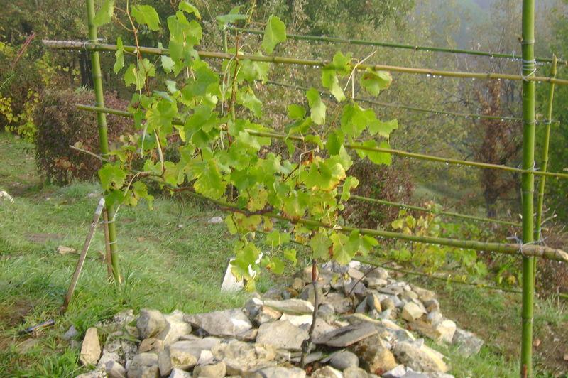 vignes pour le raisin de table vigne le jardin de salom. Black Bedroom Furniture Sets. Home Design Ideas