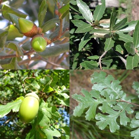 Quercus_sp_mosaic_leaves_fruits