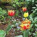 Tulipes et myosotis font bon ménage