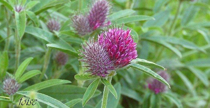 inflorescence en têtes globuleuses solitaires ou géminées sessiles
