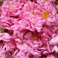 la rose centifolia