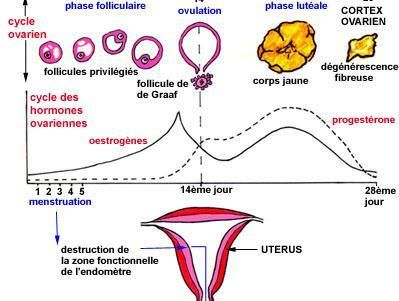 ovulation sous pilule