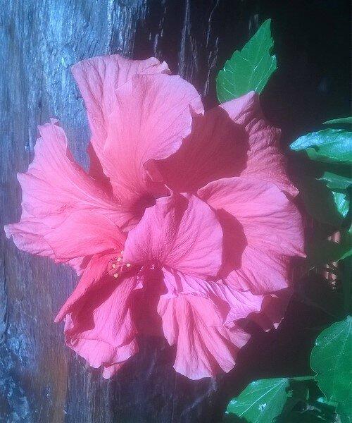 hibiscus rouge c