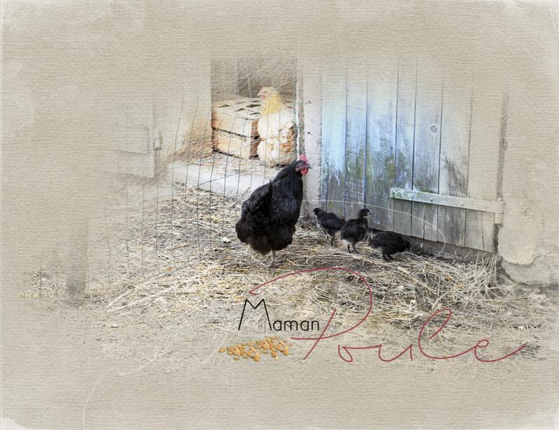 Poule noire