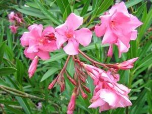 Chevaux et plantes toxiques 3 les plantes toxiques - Feuilles jaunes laurier rose ...