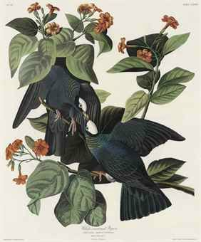Pigeon after_john_james_audubon_by_robert_havell_white-crowned_pigeon_columba_d5526937h