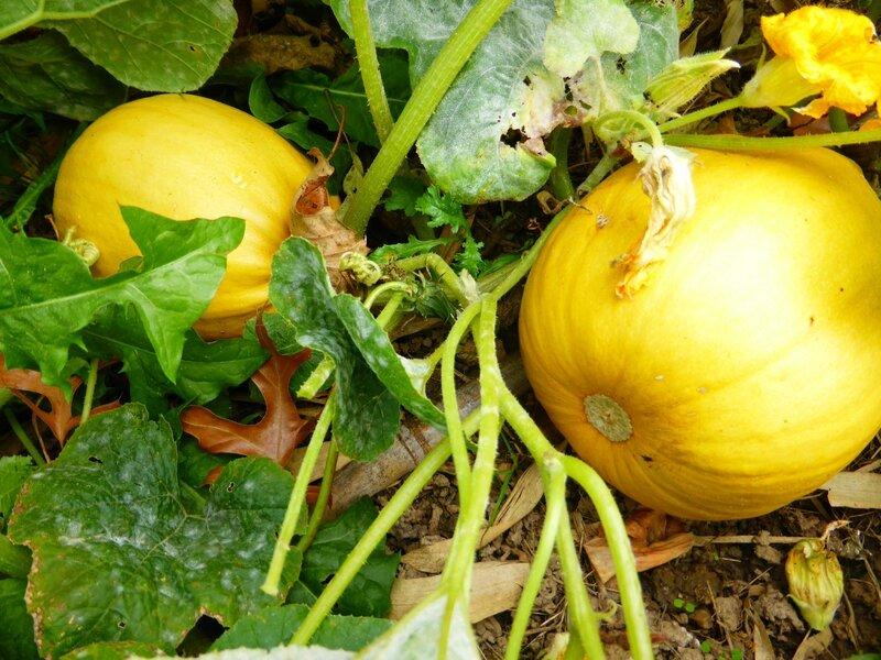 3-courge melonette de vendée (6)