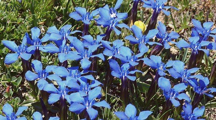 corolles bleu vif