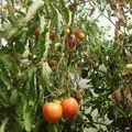 2008 09 10 Quelques tomates sous serre