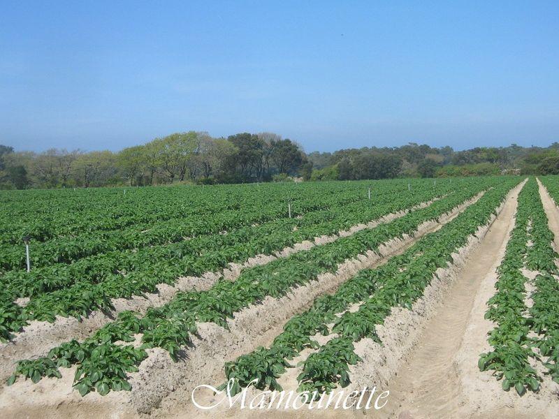 Sirtema de noirmoutier et ses brochettes bon ap chez - Cuisiner les pommes de terre de noirmoutier ...