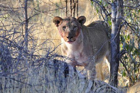 Lion, parc d'Etosha, Namibie (2)