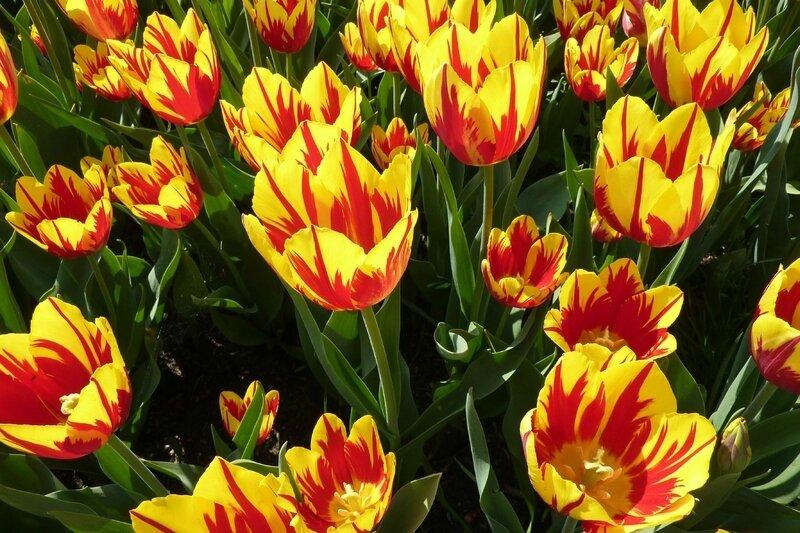 DDS 465 MAP - Tulipes de Grand-Bigard avril 2011