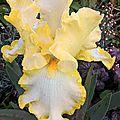 iris eastertime (jardin)
