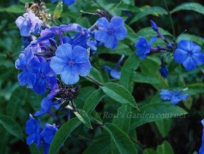 Phlox paniculata 'Blue Paradise'_400