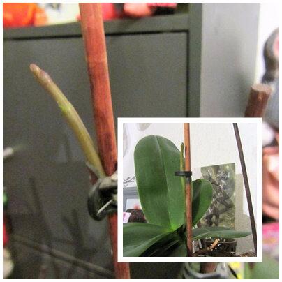 orchidée future