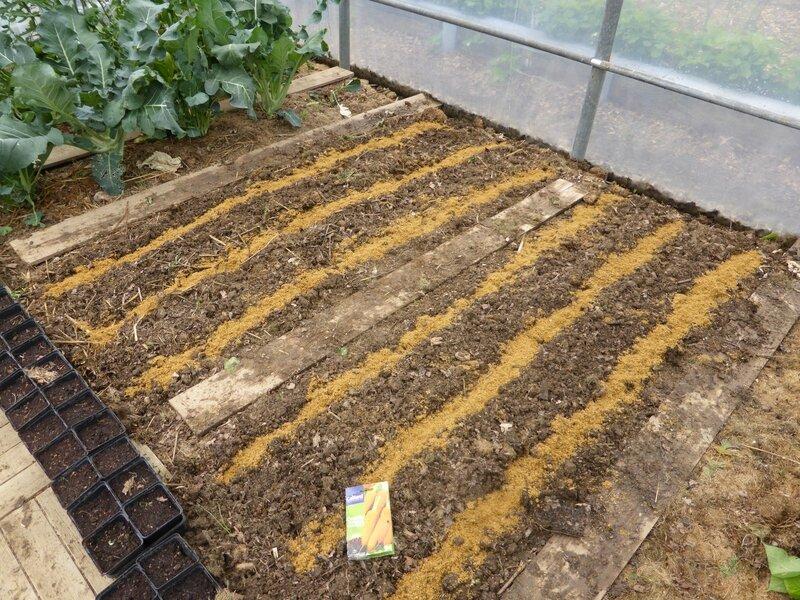 26-semis carottes (2)