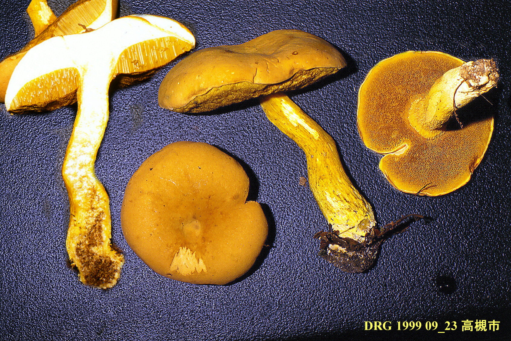 Boletus_ornatipes_1999_0923_mont