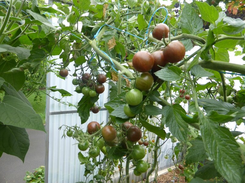 28-serre-tomates-raisins (32)